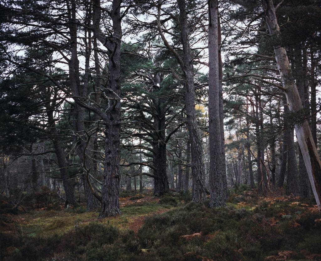 Chrystel Lebas Re-visiting Pinus silvestris [illeg.] Plate n°1245, Aviemore, Rothiemurchus, October. 2011. 57°8.713' N 3°50.290' W