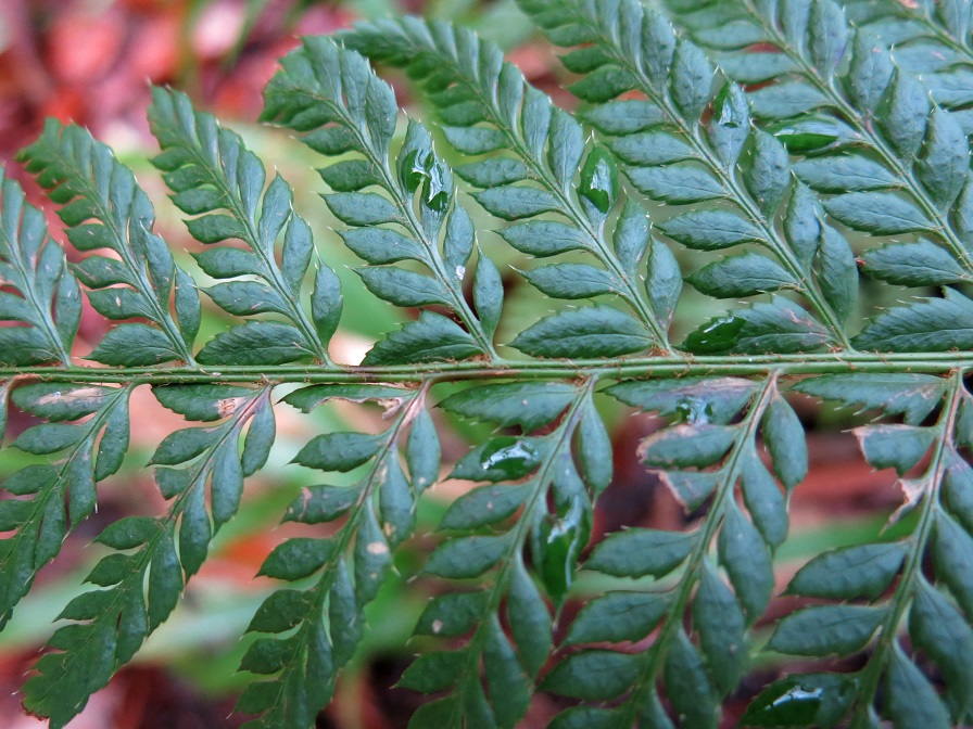 Close up image of a fern plant emphasizing the form of the leaves.